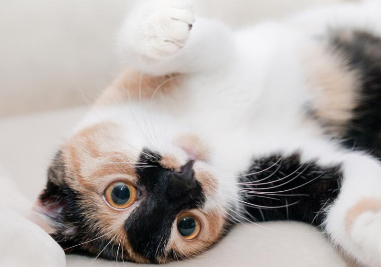 Hauskatzen aneinander gewöhnen  – Was Haustierbesitzer wissen sollten